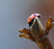 Ladybird by Shirley Shelton