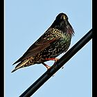 The Starling ~ Sturnus vulgaris by Pete Vincent