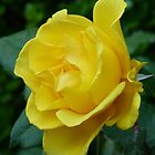 Yellow Rose by Gordon Taylor