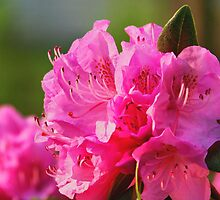 Pink Azalea by James Brotherton