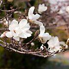 Magnolia Blossoms by Monica M. Scanlan