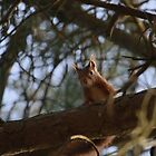 Red Squirrel by Franco De Luca Calce