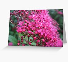 Spirea Flower with Dew Drops Greeting Card