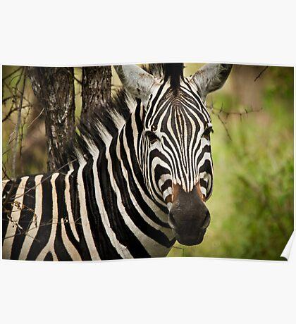 { majestic zebra } Poster