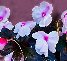 Impatiens by Margaret Stevens