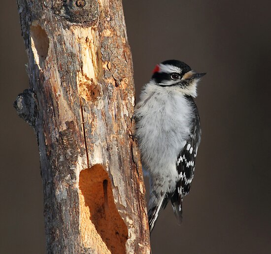 Downy Woodpecker in Late Afternoon Winter Light by Bill McMullen