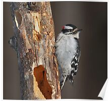 Downy Woodpecker in Late Afternoon Winter Light Poster