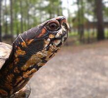 Three-Toed Ornate Box Turtle II by Unconventional