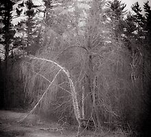 Pushing out the Birch by Jason Lee Jodoin