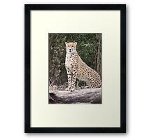Cheetah IV- What You Did There, I See It. Framed Print
