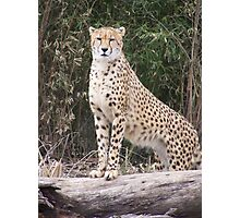 Cheetah IV- What You Did There, I See It. Photographic Print