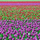 Ribbons of Tulips by Kathryn  Young