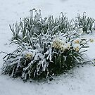 Flowers in the snow by lutontown