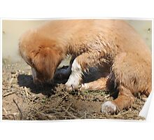 Toller pup in the mud Poster