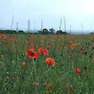 poppies in a field in England by lutontown
