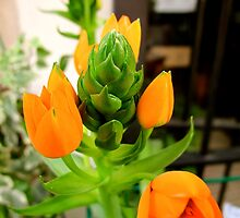 Asparagus Flower (Pisa, Italy) by Britland Tracy