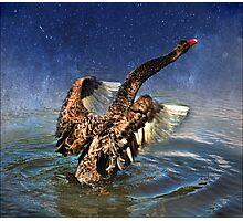 australian black swan Photographic Print