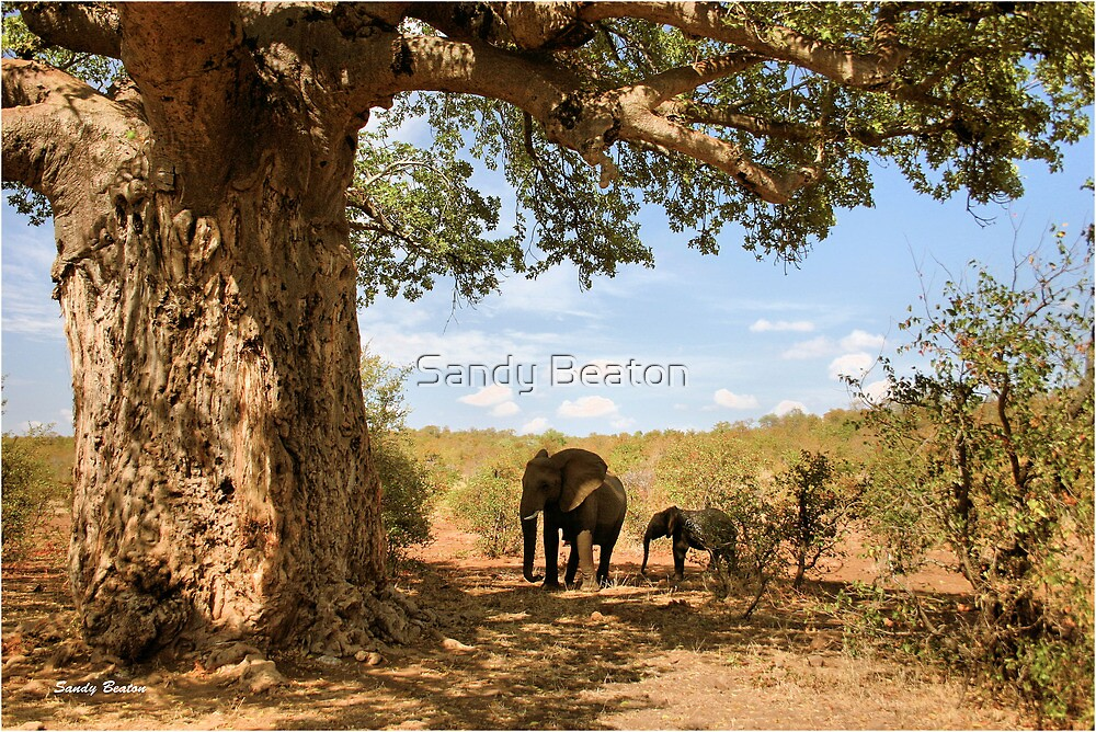 """""""Two Giants - together"""" - African elephants under Baobab tree - Kruger Nat. park - SA by Sandy Beaton"""