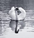 Swan by Nigel Bangert