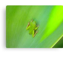 Green Frog on Agave Plant. Canvas Print