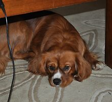 A King Charles Spaniel. by Maureen Dodd