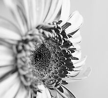 Gerbera Black & White by Toni McPherson