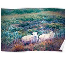 A Pair of Icelandic Sheep Poster