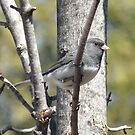 Dark-Eyed Junco- Junco hyemalis by Tracy Faught