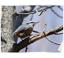 Red-Breasted Nuthatch -Sitta canadensis Poster
