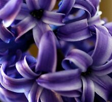 Purple Hyacinth Macro by Renee Blake