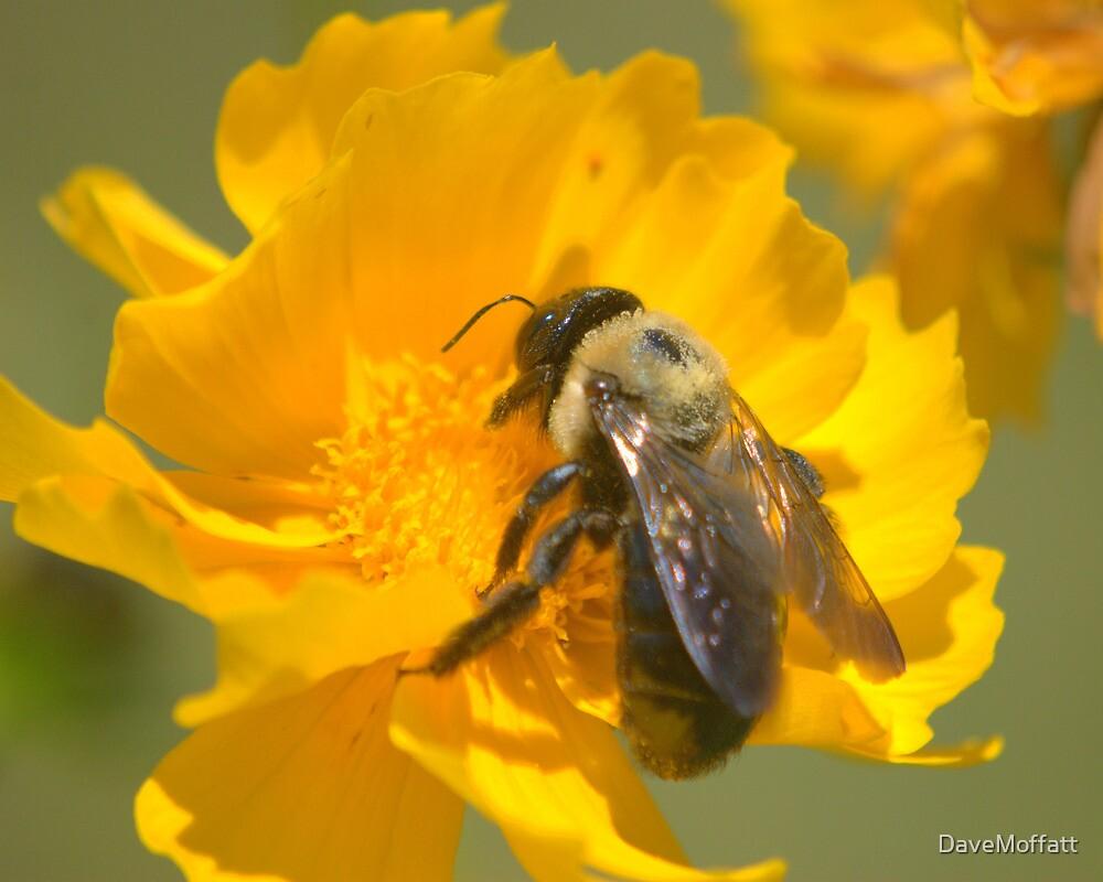 Honey Bee on Coreopsis, 8x10 by DaveMoffatt
