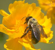 Honey Bee on Coreopsis, 8x10 by DaveMoffatt