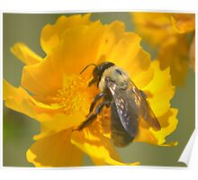 Honey Bee on Coreopsis, 8x10 Poster