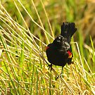 Red winged Blackbird by Al Williscroft