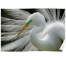 Great White Egret Breeding Perfection Poster