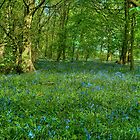 Bluebell Carpet by John Hare