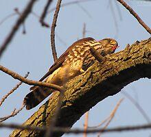 Merlin Falcon by caybeach
