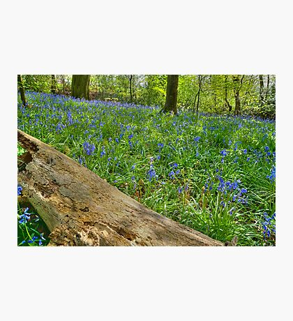 Whalley Wood Bluebells Photographic Print