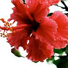 Red Hibiscus by Jason Dymock Photography