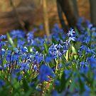 Spring primroses by VallaV