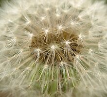 Dandelion by Jason Dymock
