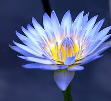 Water Lily by Jason Dymock