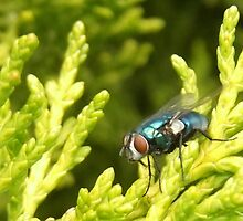 Greenbottle Fly  by Michaela1991
