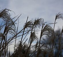 Dark grass seed agains the sky by Paul Budge