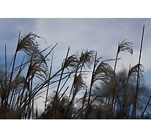 Dark grass seed agains the sky Photographic Print