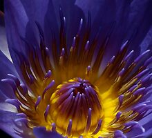 Heart of the Lily by Jason Dymock