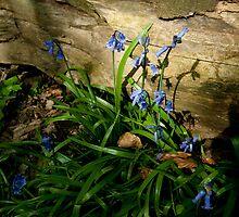 Sunlit Bluebells by John Hare