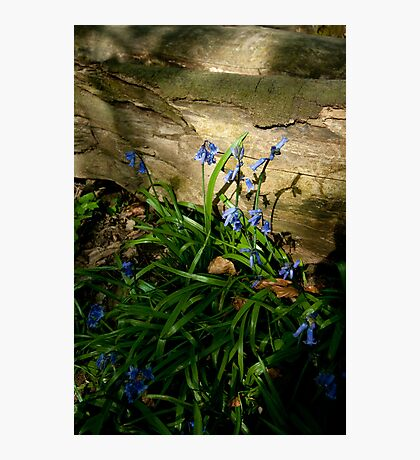 Sunlit Bluebells Photographic Print