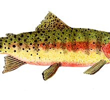 Study of a Greenback Cutthroat Trout by Thom Glace