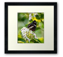 Sunshine - common eggfly butterfly  Framed Print